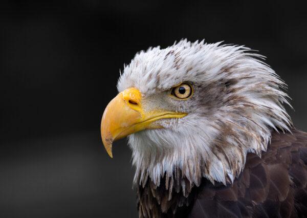 Aguila Americana